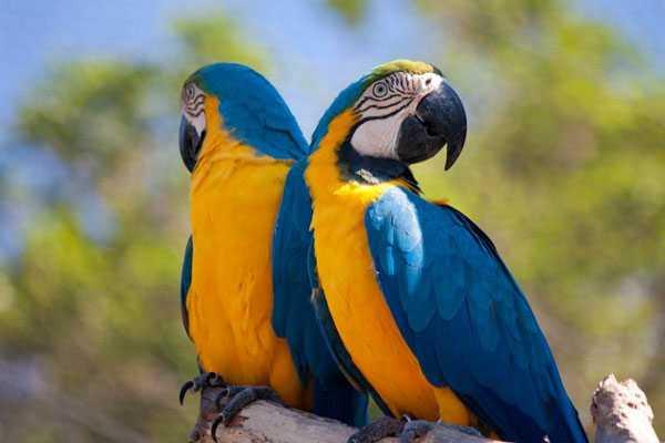 сине-желтые ара красивые гиганты