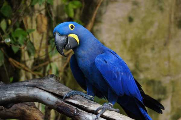 синяя гиацинтовая птица