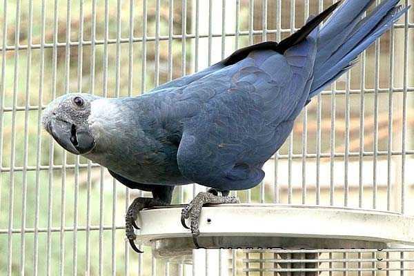 глубокий синий цвет оперения ара сменяется на голове голубовато-серым