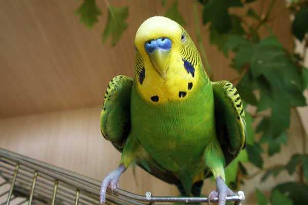 стресс опасен для птицы