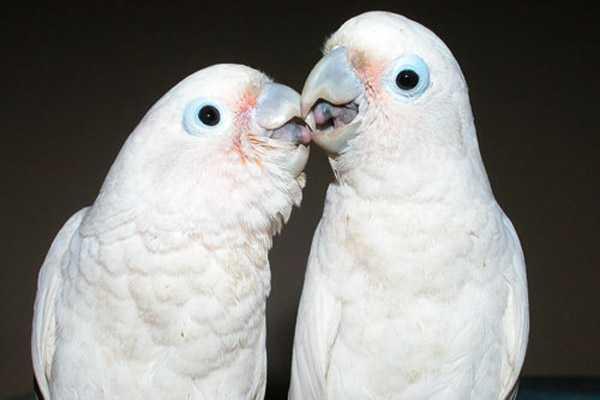 парочка танимбарских попугаев