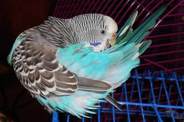 волнистый попугай чешет перья