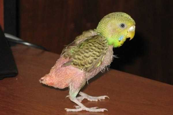 у волнистого попугая выпали перья на попе, грудке и хвосте