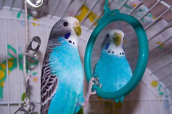 волнистый попугай воркует с зеркалом