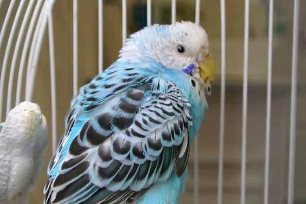 у попугая на фото  воспаление зоба