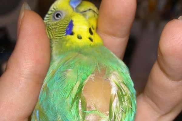 Воспаление зоба у птицы