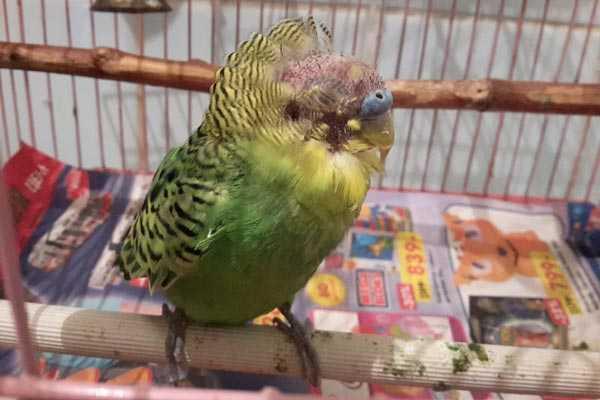 у волнистого попугая выпали перья на голове