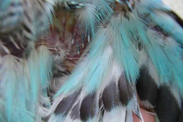 тело попугая с выщипанными перьями