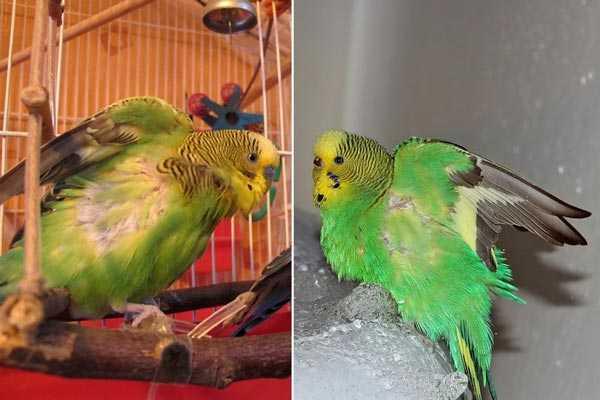 волнистые попугаи с выщипанными перьями под крыльями