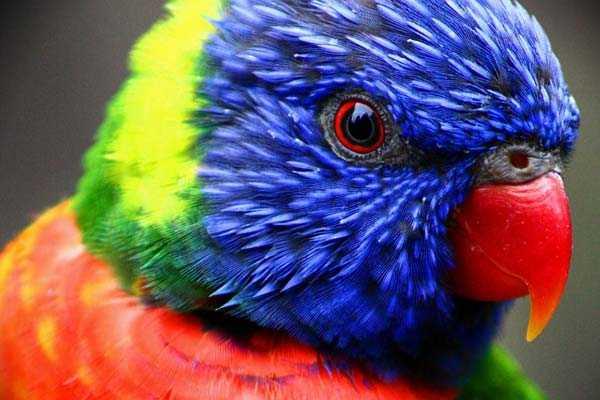 пестрый, яркий попугай