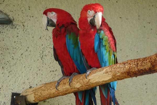 парочка ара сидит на деревянной жерди