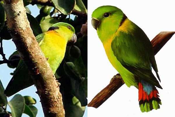 фото ошейниковых птиц Agapornis swindernianus