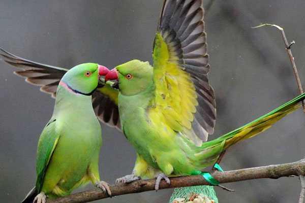 парочка александрийских попугаев целуется