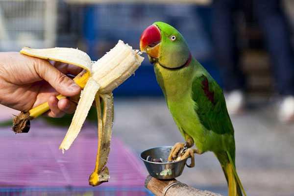 пернатое ест банан из рук