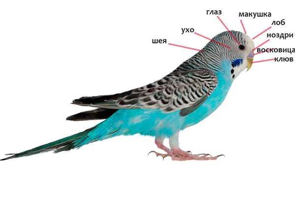 анатомия волнистого попугая