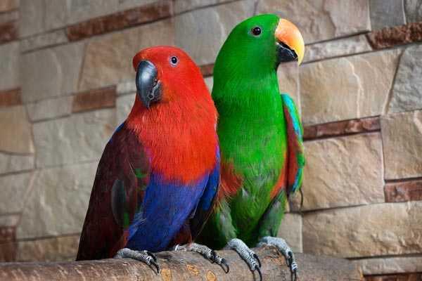 бблагородные эклектусы, самец и самка