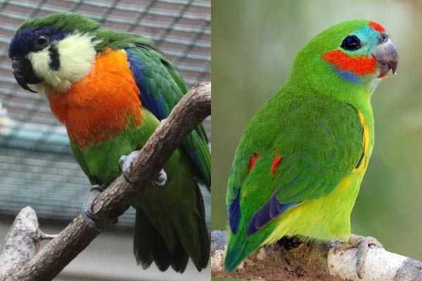 разновидности фиговых попугайчиков