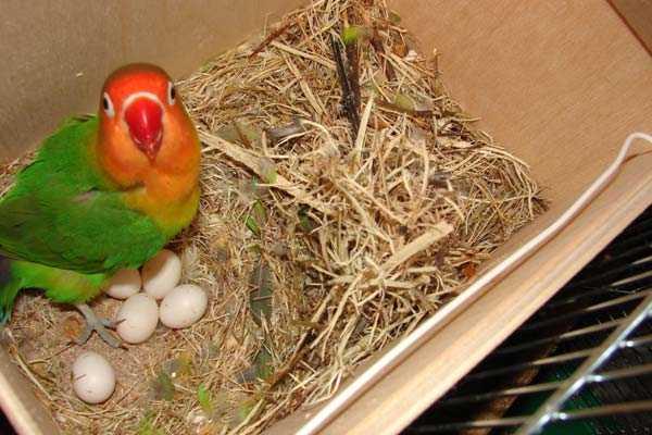 в гнезде неразлучник фишера и яйца