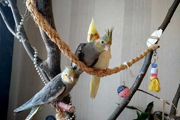 попугаи кореллы сидят на игровом стенде