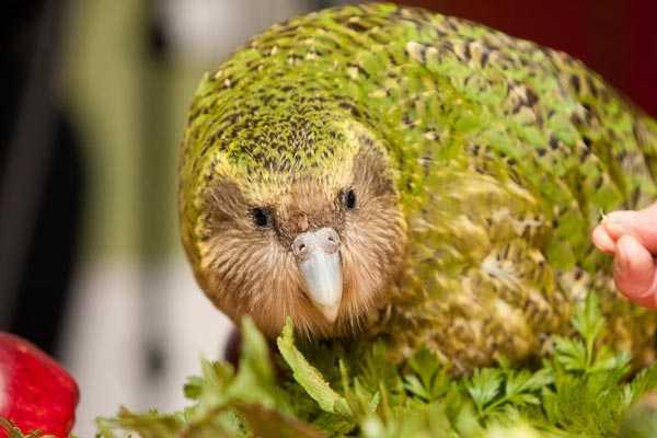 Какапо нелетающая птичка