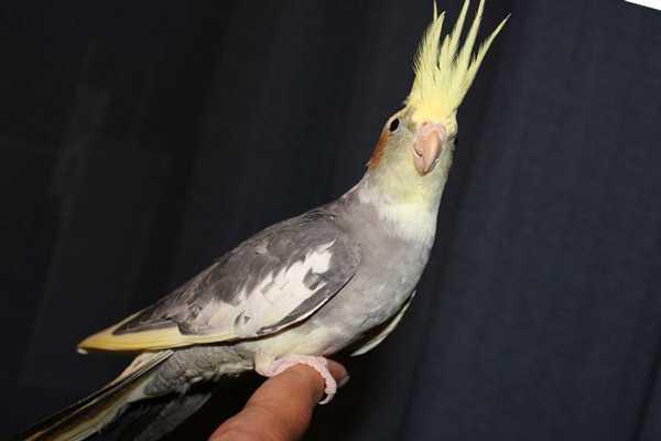 попугай корелла сидит на пальце