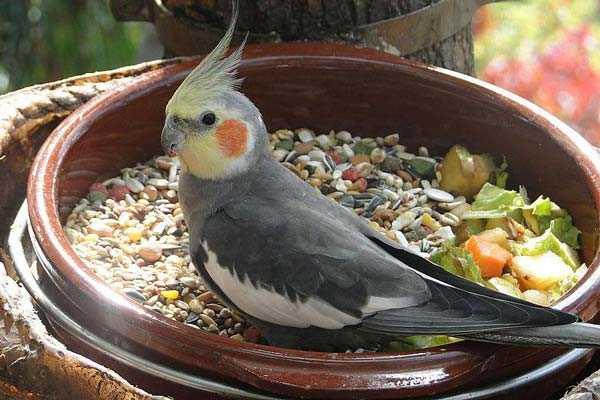 попугай нимфа ест корм