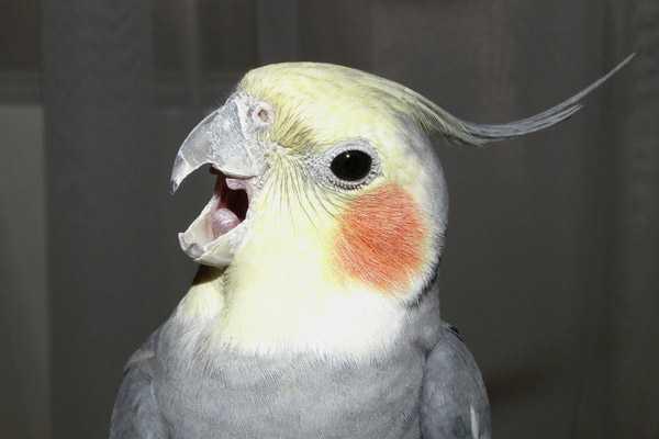попугай кричит