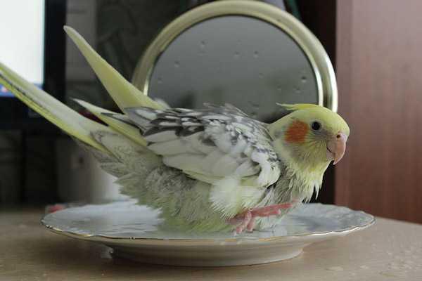 попугай корелла купается в тарелке