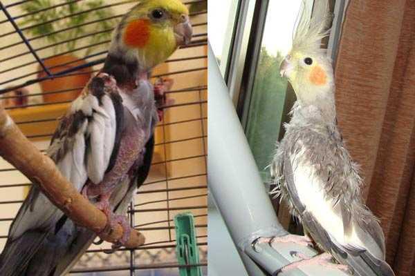 линька, самоощип у попугаев корелла