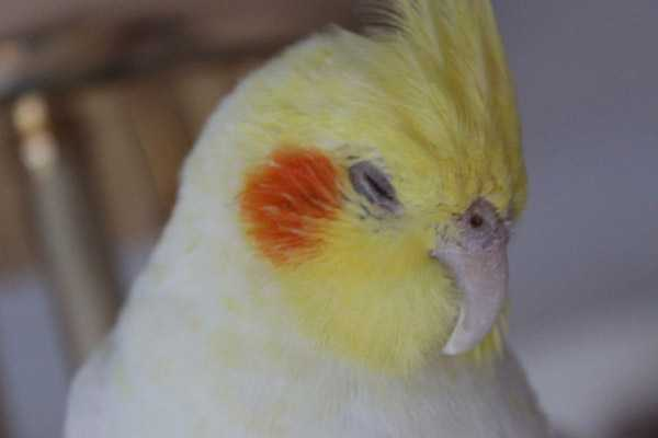 попугай корелла спит