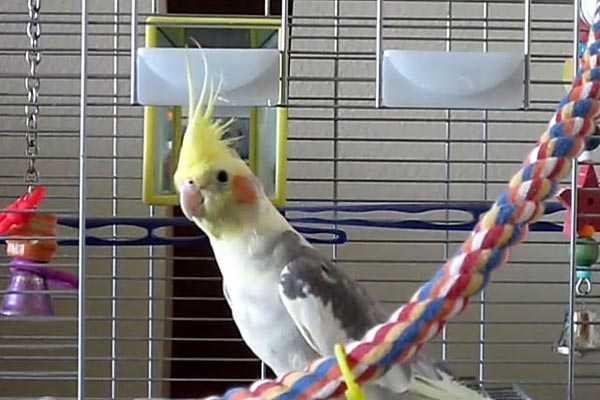 попугай сидит в клетке с игрушками