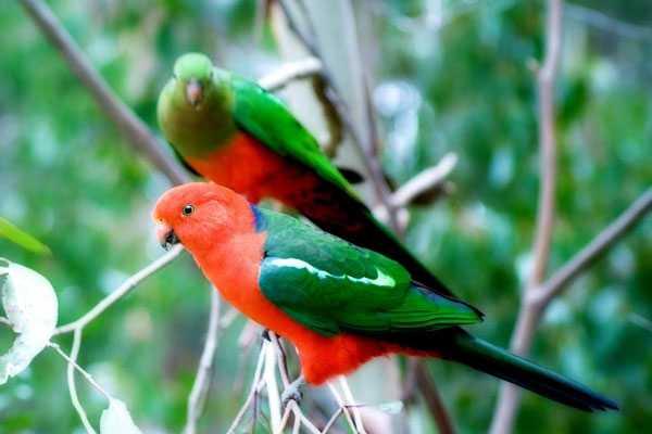 Самец и самка королевские попугаи