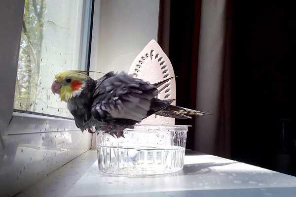 корелла купается возле окна в ванночке