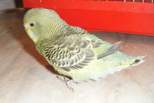 Французская линька у волнистого попугая