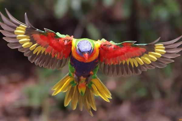 попугай лори в полете