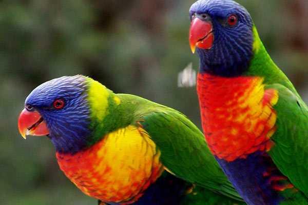 Многоцветные лори
