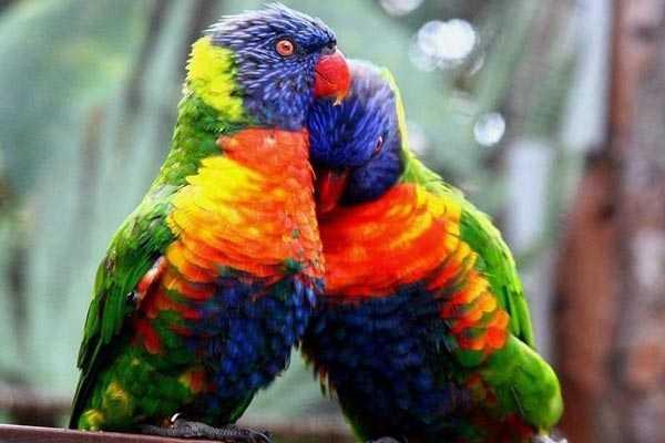 парочка лориевых попугаев