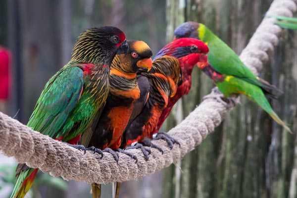 фото разновидностей лориевых попугаев