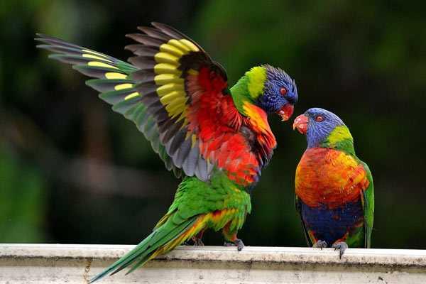парочка многоцветных лорикетов