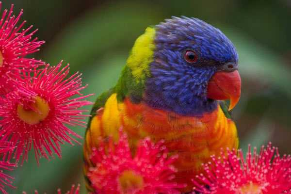 радужный лорикет ест цветы