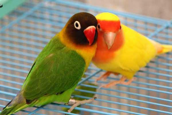 парочка попугайчиков сидит на клетке