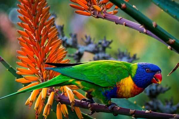 радужный лорикет на фоне цветов