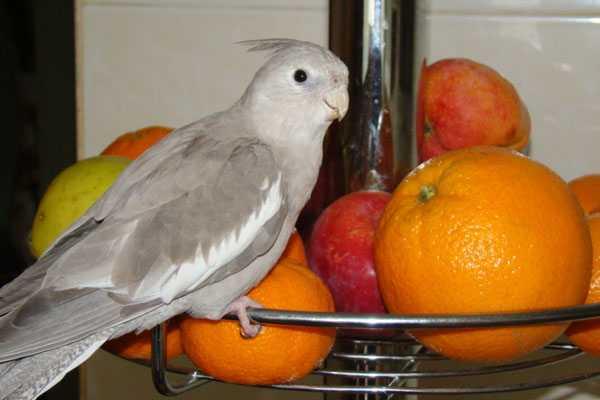 попугай нимфа ест фрукты