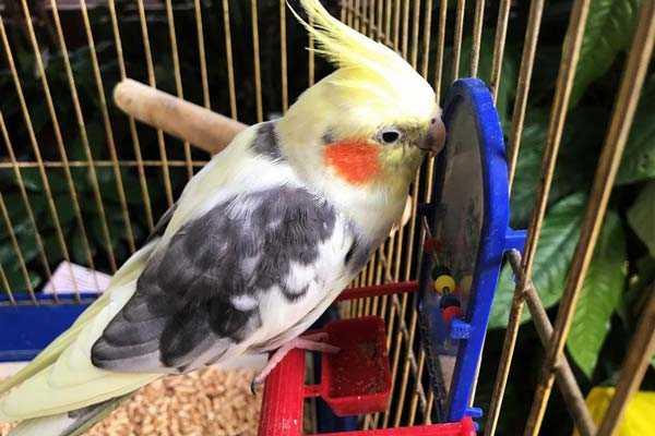 попугай нимфа в клетке возле зеркальца