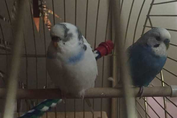 Ожирение у волнистого попугая