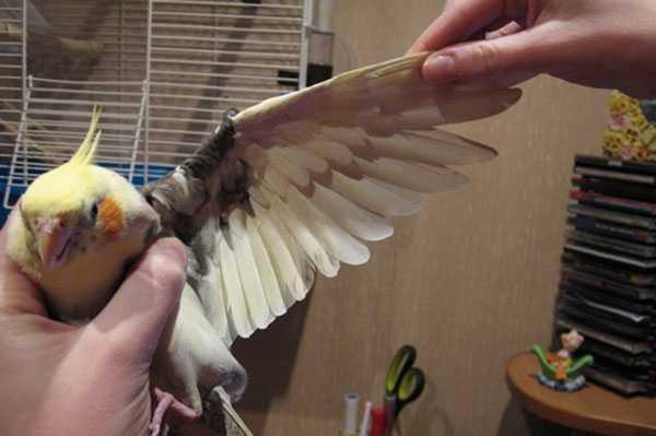 перелом крыла у кореллы