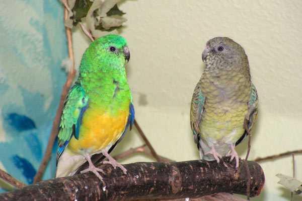Самец и самка певчие попугайики