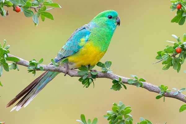 Певчий вид птиц