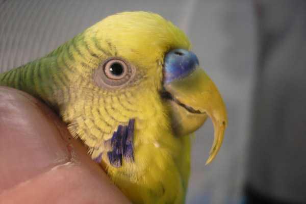 подрезать клюв попугаю