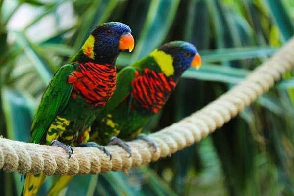 пара попугаев лори - лорикеты